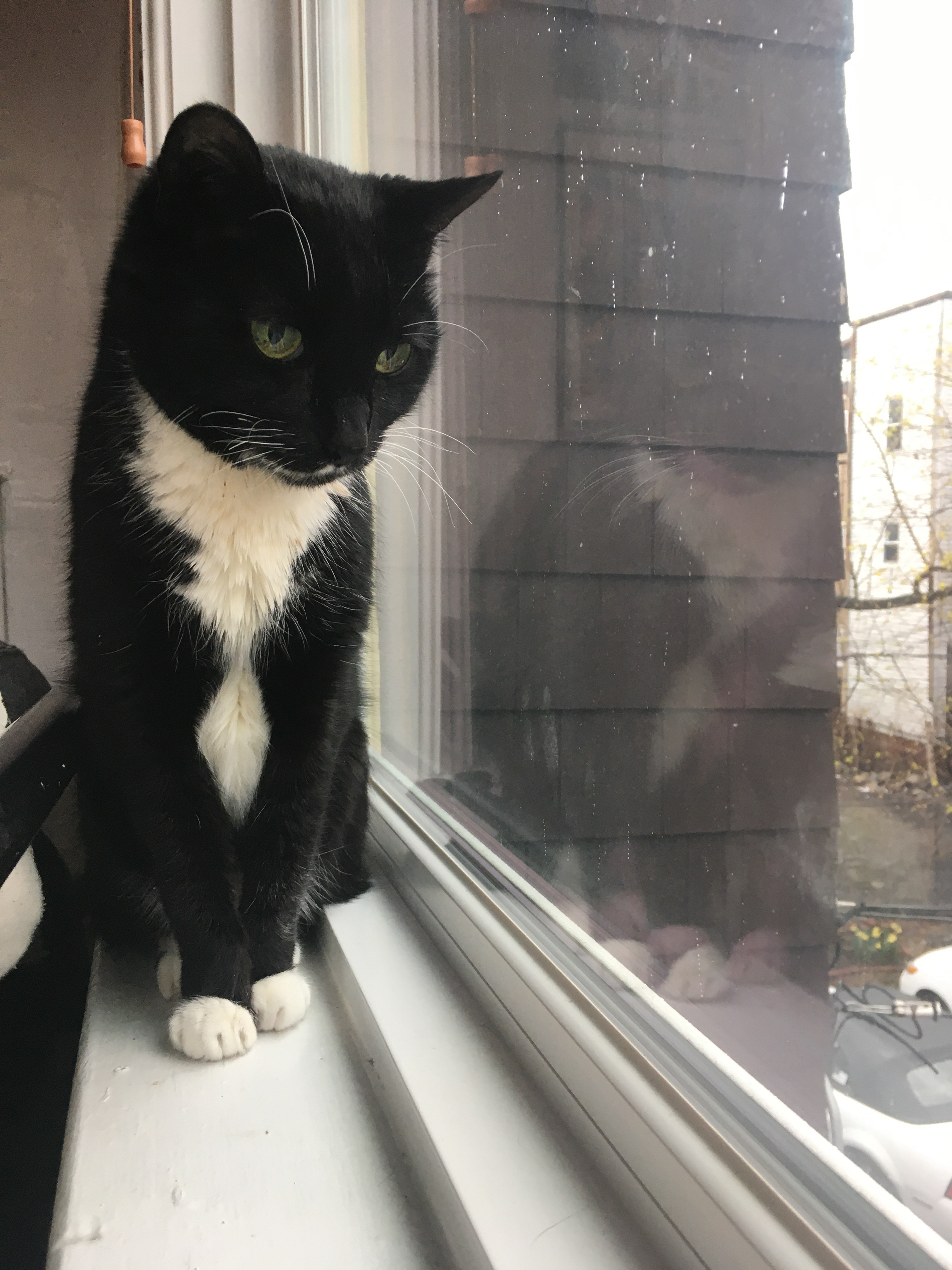 Black and white cat looking out a window